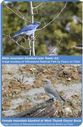 Male and Female Mountain Bluebirds