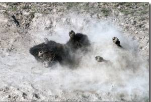Bison Rolling