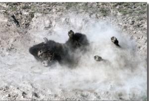 Bison Rolling